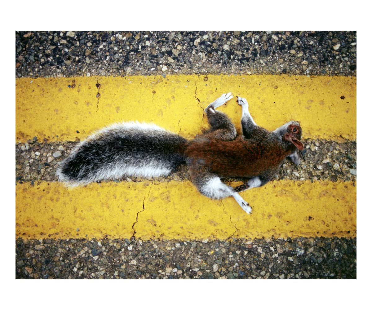 Abert's Squirrel (Sciurus aberti), Colorado, 1992