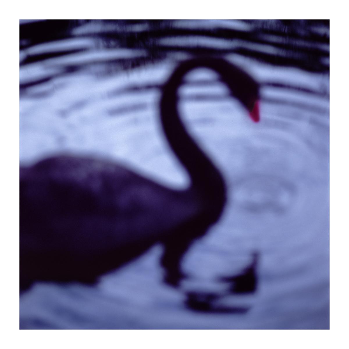 Black Swan, Centennial Park, Sydney, Australia, 2004