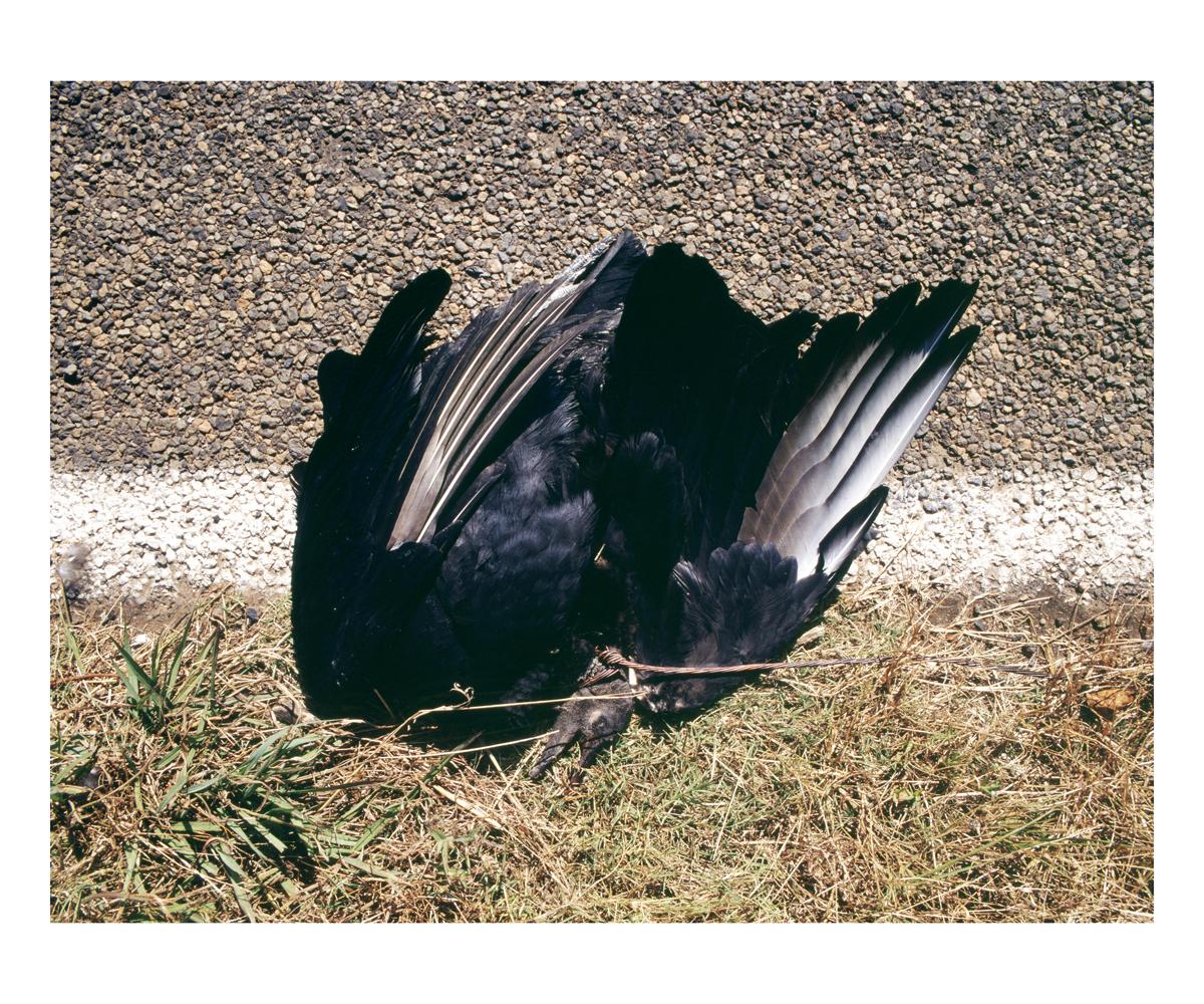 Black Vulture (Coragyps atratus), Texas, 1992
