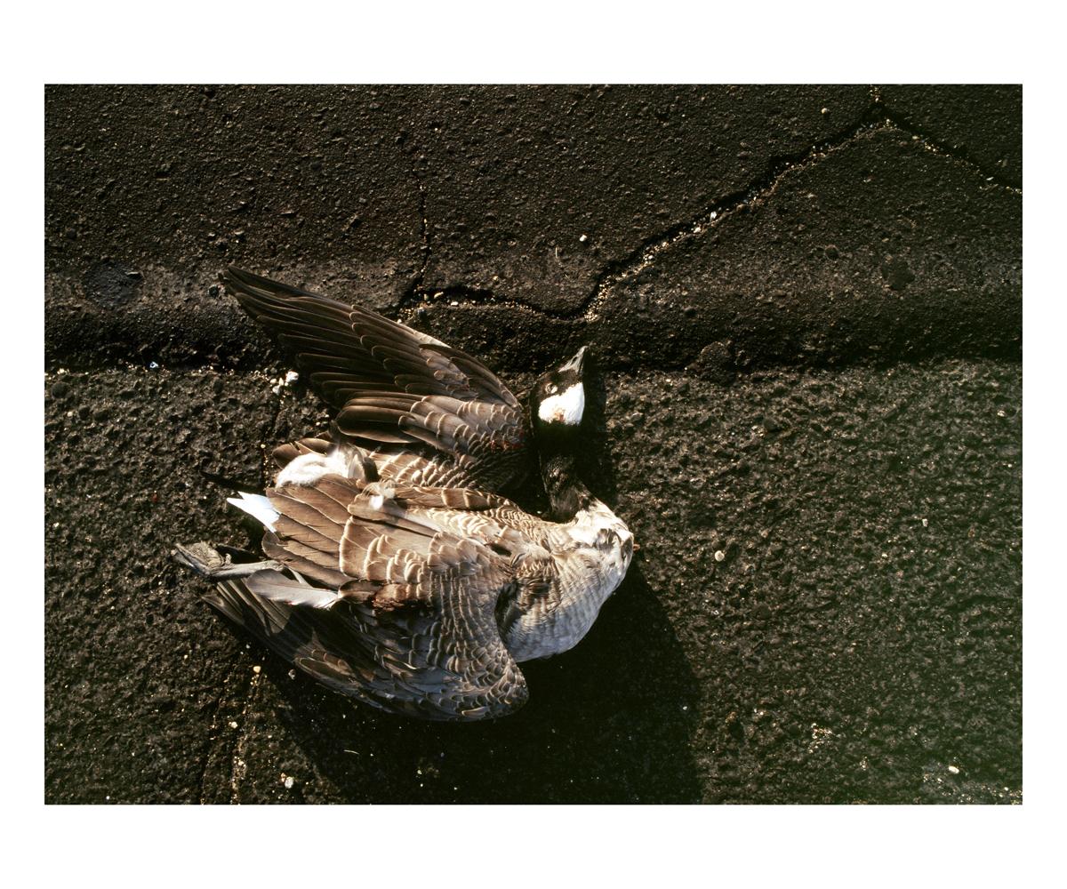 Canada Goose (Branta canadensis), Wisconson, 1992