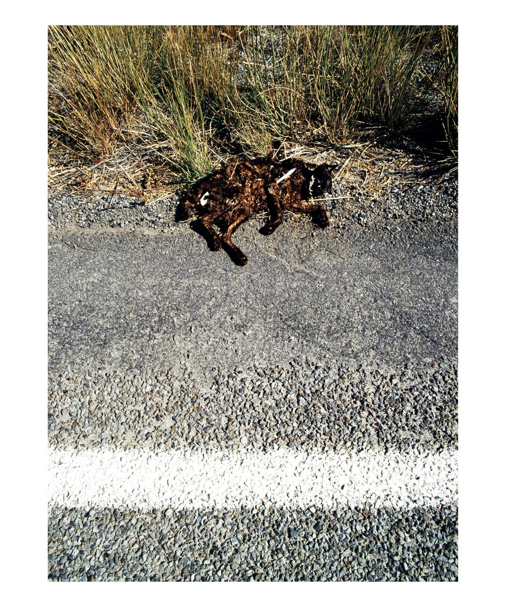 Cat (Felis catus), Idaho, 1992