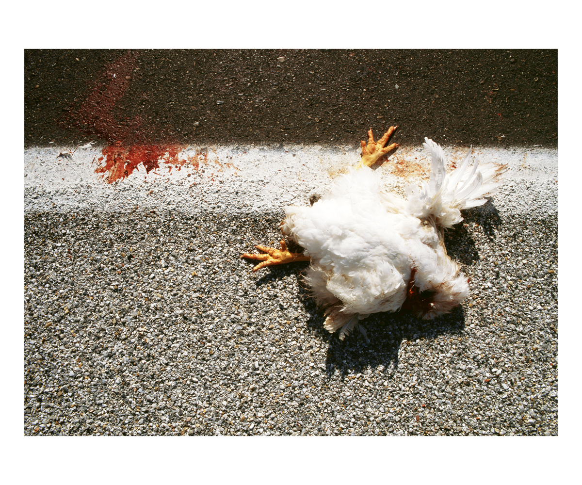 Chicken (Gallus gallus), Alabama, 1992