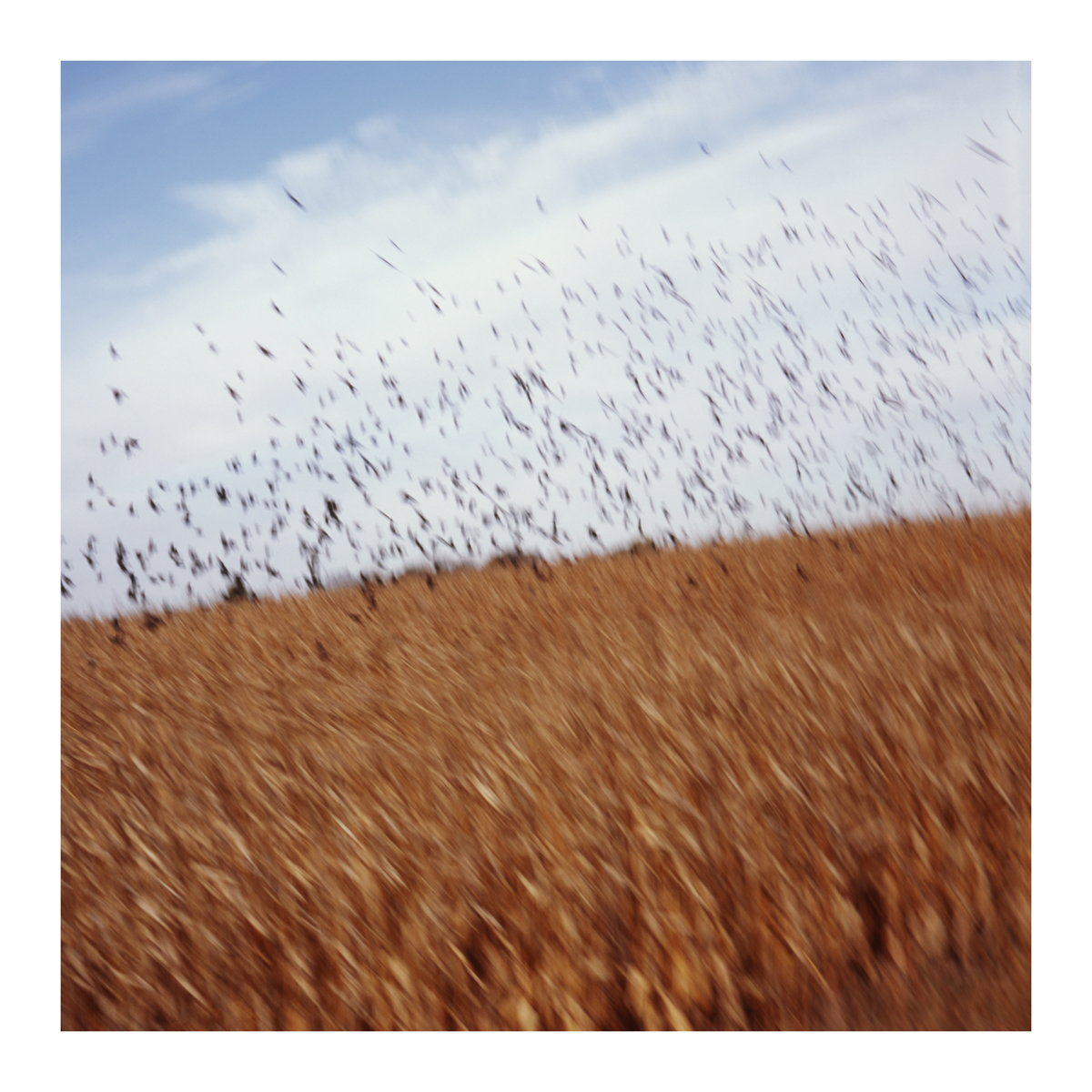 Cornfield and Birds, Iowa, 2014
