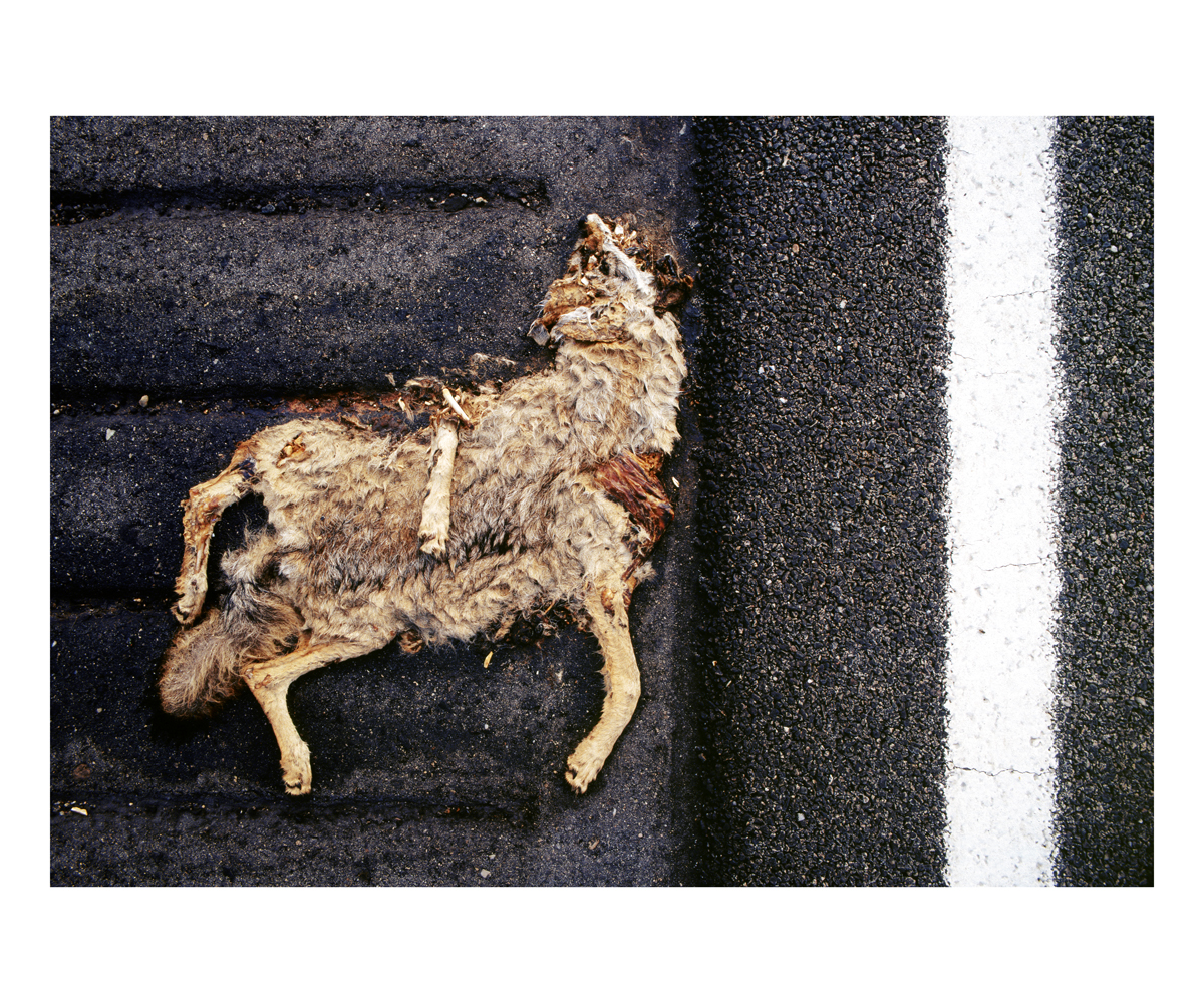 Coyote (Canis latrans), California, 1992
