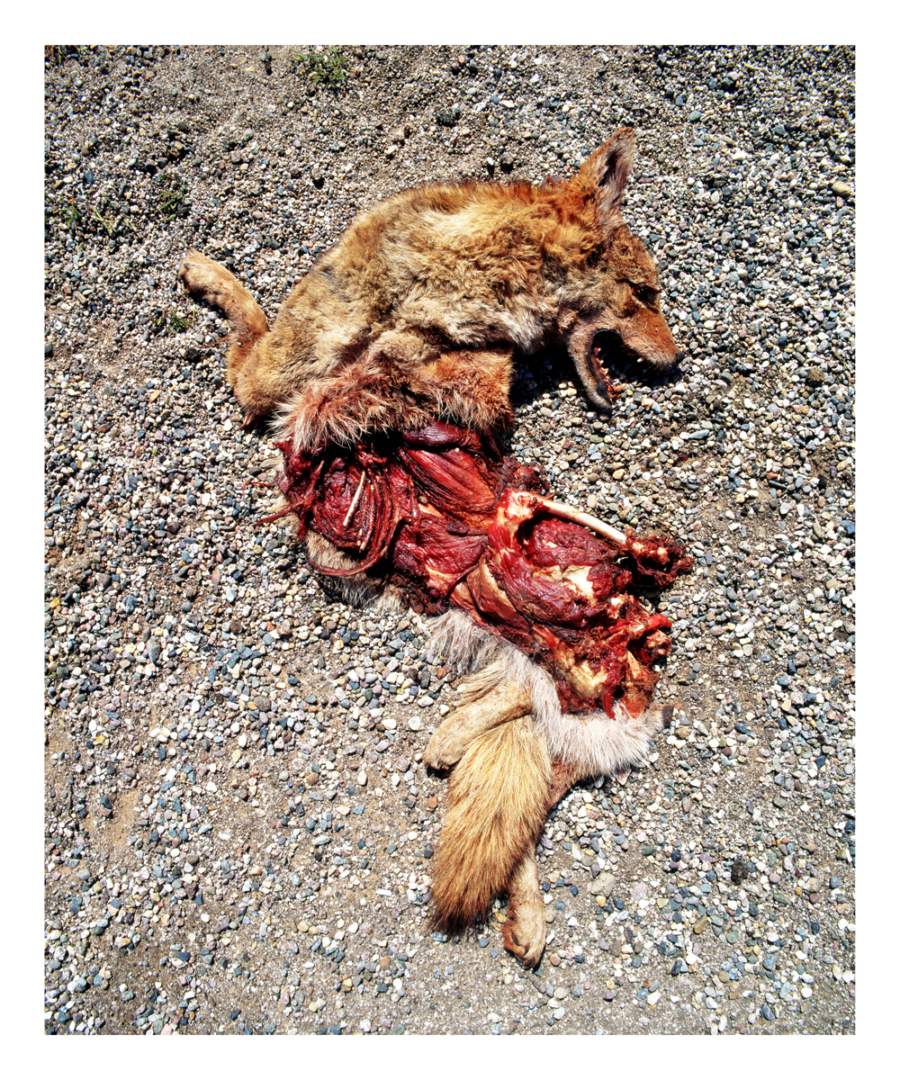 Coyote (Canis latrans), Nevada, 1992