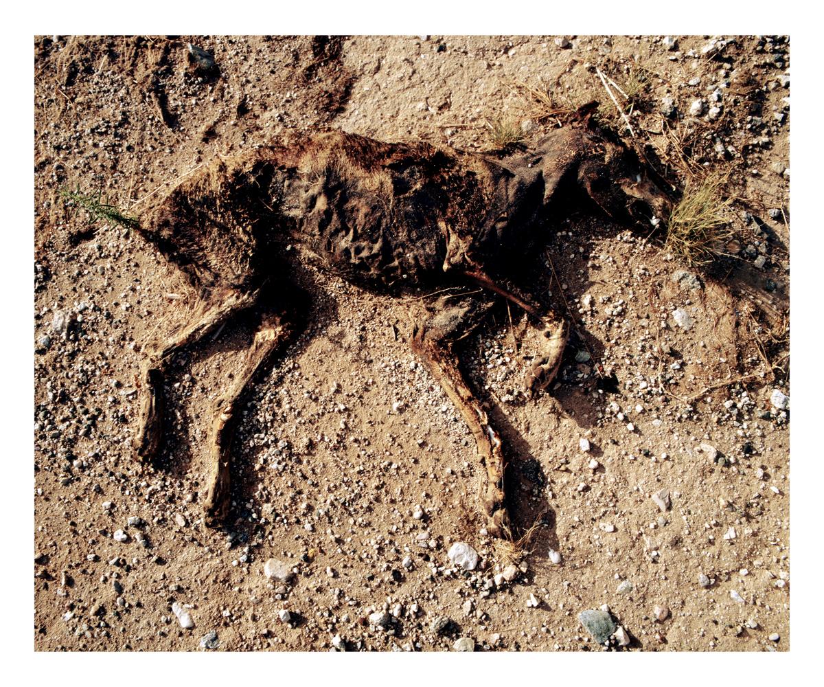 Dog (Canis familiaris), California, 1992