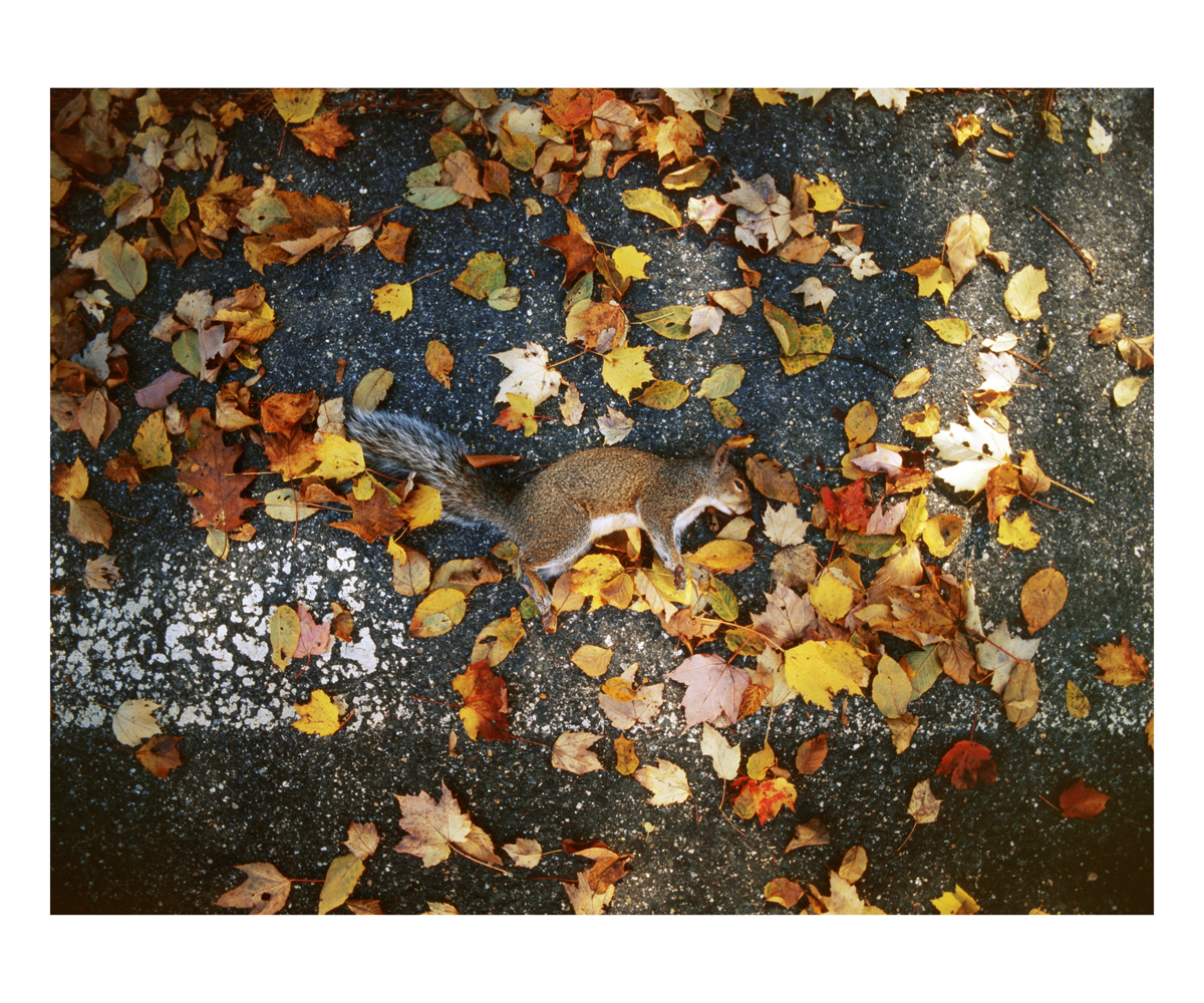Eastern Gray Squirrel (Sciurus carolinensis), Massachusetts, 1994