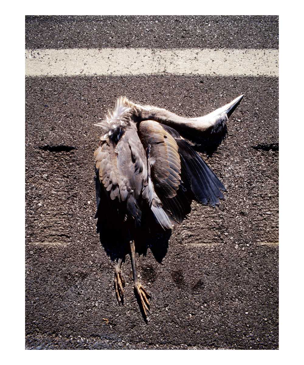 Great Blue Heron (Ardea herodias), Juvenile, Pennsylvania, 1996