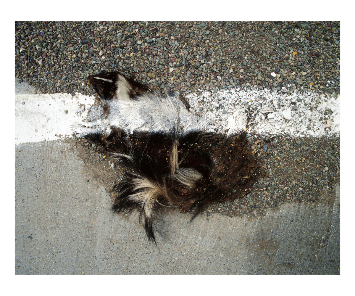 Hooded Skunk (Mephitis macroura), Montana, 1997