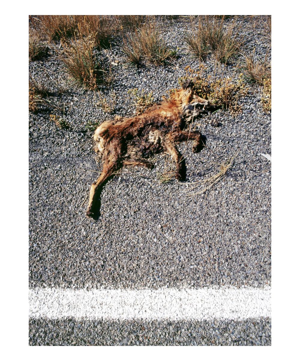 Red Fox (Vulpes vulpes), South Dakota, 1992