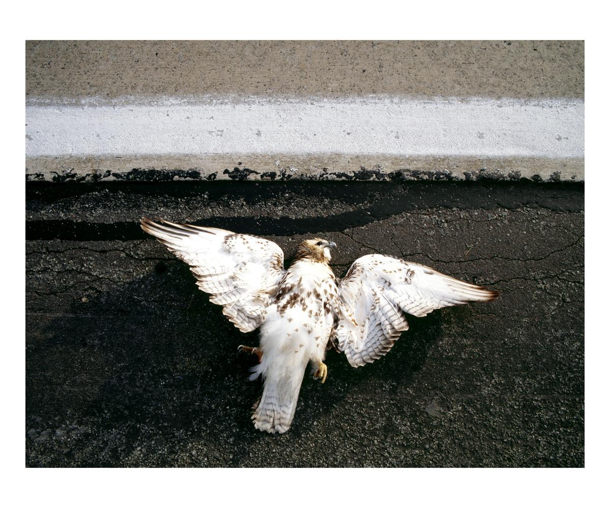Red-tailed Hawk (Buteo jamaicensis), Juvenile, Pennsylvania, 1994