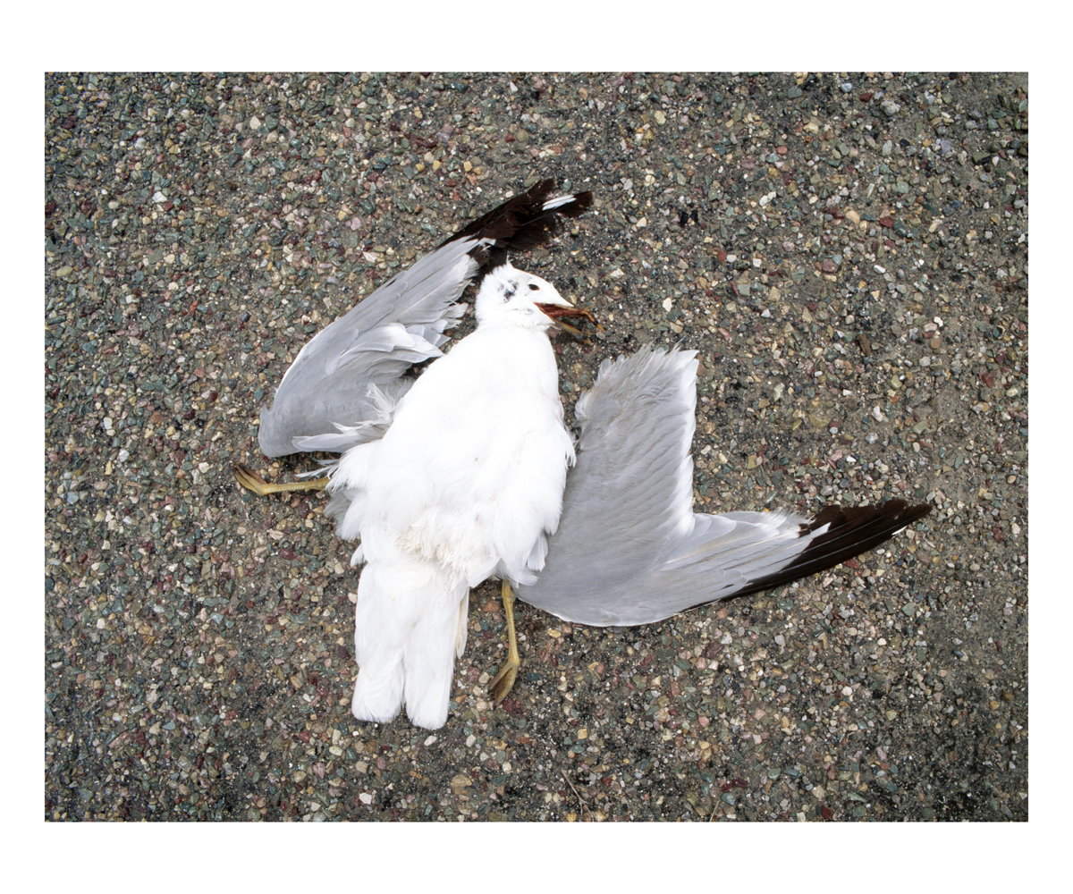 Ring-billed Gull (Larus delawarensis), Montana, 1997
