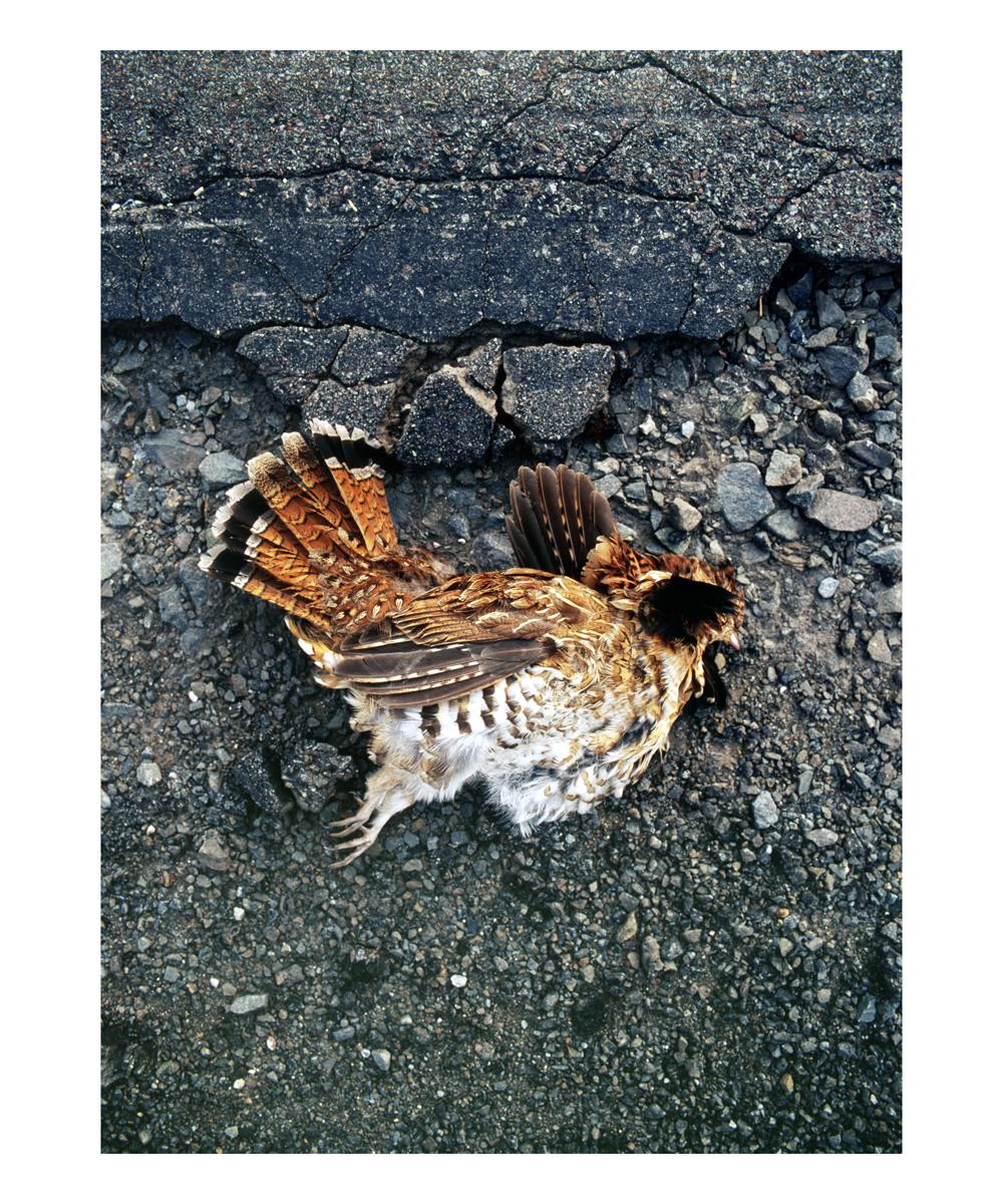 Ruffed Grouse (Bonasa umbellus), Male, New York, 1994