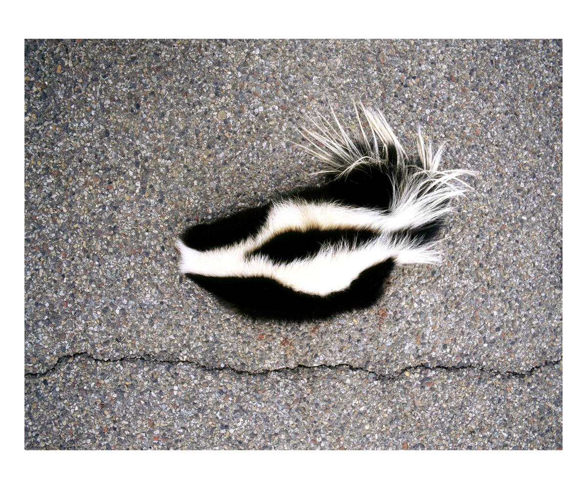 Striped Skunk (Mephitis mephitis), Colorado, 1995