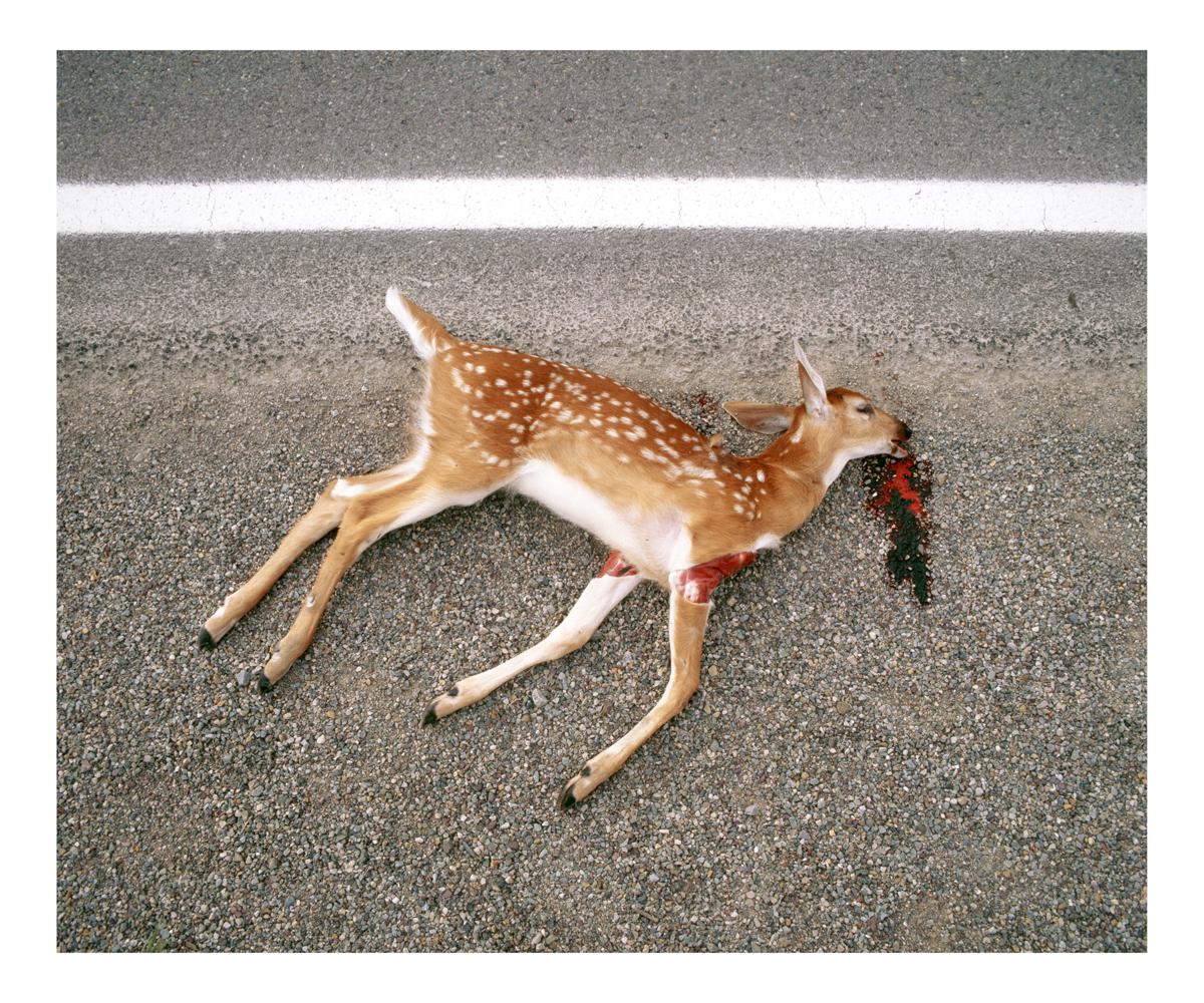 White-tailed Deer (Odocoileus virginianus), Immature, Montana, 1995