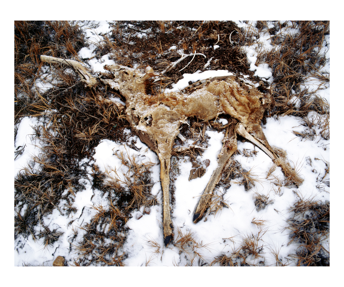 White-tailed Deer (Odocoileus virginianus), Wyoming, 1995