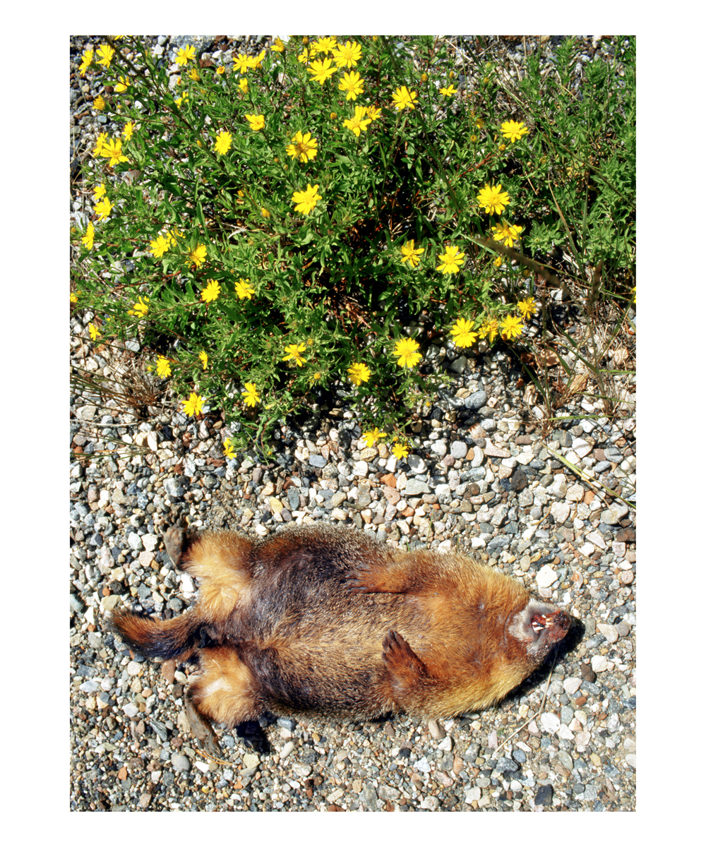 Yellow-bellied Marmot (Marmota flaviventris), Colorado, 1995